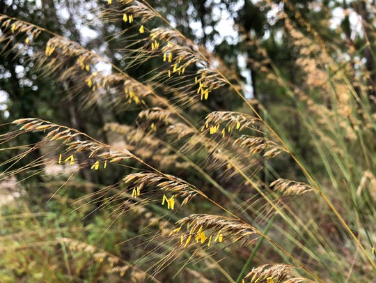 Lopsided Indiangrass is a wispy bunchgrass with tall