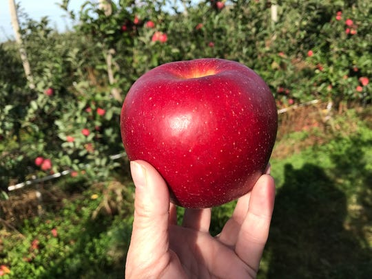 Apples are ready for picking at Wickham Farms in Penfield.