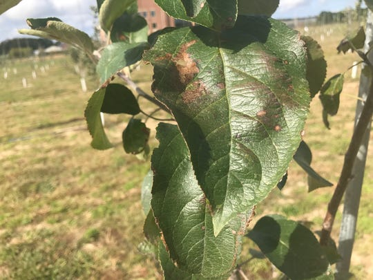 Fire blight decimated the historic apple crop on the Eastern Shore. Though rootstocks in the University of Maryland Eastern Shore's apple orchard are resistant to the disease, they are facing problems with apple cedar rust, pictured.