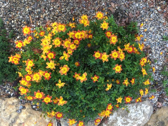 "The annual ""Blazing Glory"" bidens has not stopped blooming"