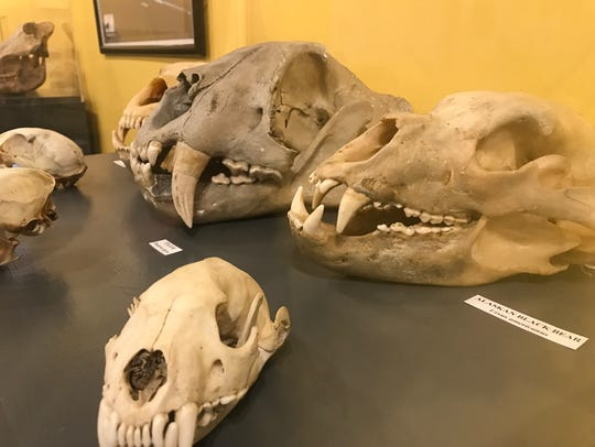 Bear skulls and those of other animals are on display