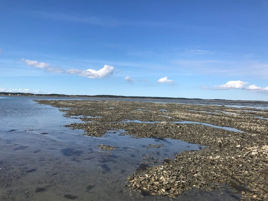Dredged shell is providing habitat for oysters in the Hillcrest Shellfish Sanctuary, offshore from the village of Oyster. The Nature Conservancy and the Virginia Marine Resources Commission are also building an acre of oyster reef that will eventually open for public harvest nearby.