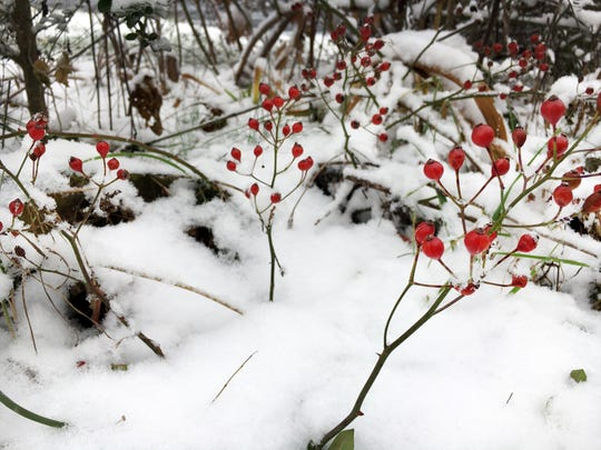 Red berries in the snow in Waynesboro on Saturday.