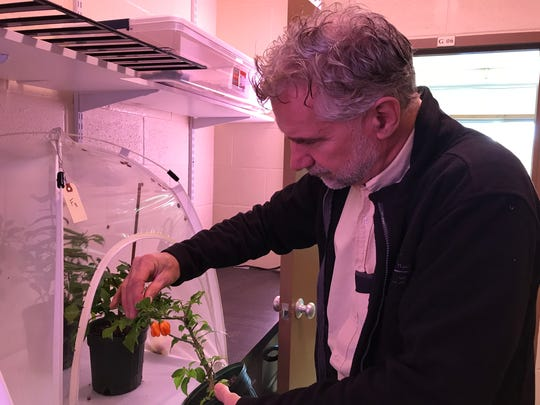 Peter Jentsch, senior extension associate at the Cornell University Hudson Valley Lab, examines the stink bug colonies.