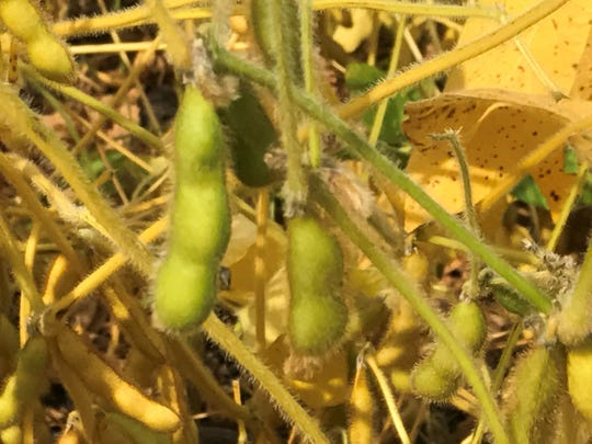 The soybean harvest dragged on through variable fall