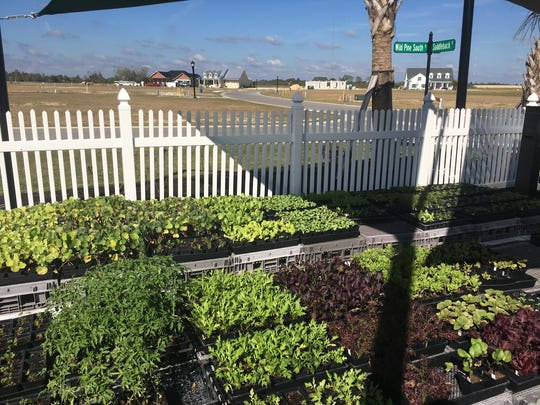 Inside a community garden at Babcock Ranch, looking out toward homes