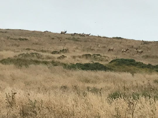 One bull elk with a dozen or so females in the Tule