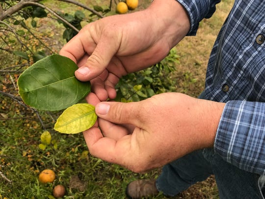 Citrus grower Chet Boudrias of Ace High Farms shows