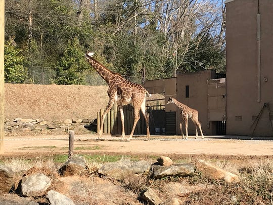 Kiden the giraffe, born Jan. 31, 2018 at the Greenville