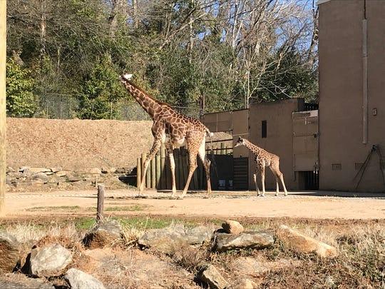 Kiden the giraffe, born Jan. 31, 2018 at the Greenville