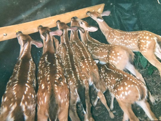 Over the course of nearly two decades, Ed and Mary Weiss rehabilitated about 90 deer, often taking in injured or orphaned fawns.