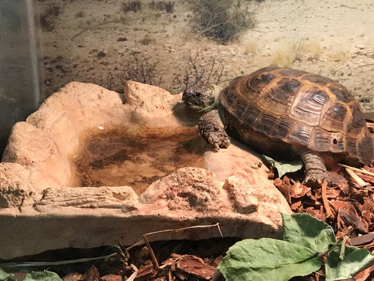 A turtle enjoys a few rays from a sunlamp at the Tortoise