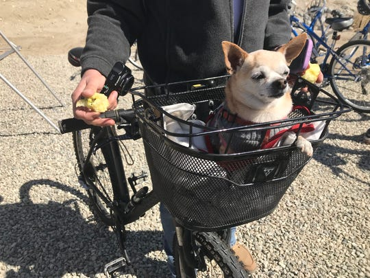 Chico, a chihuahua from Palm Springs, enjoys his first ride to the CV Link on Feb. 23, 2018.