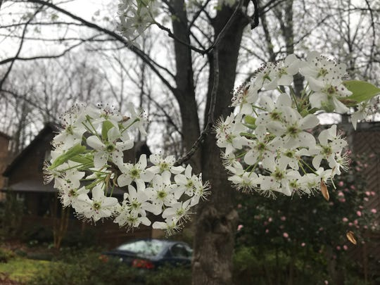New blossoms on a Bradford pear tree in Easley.