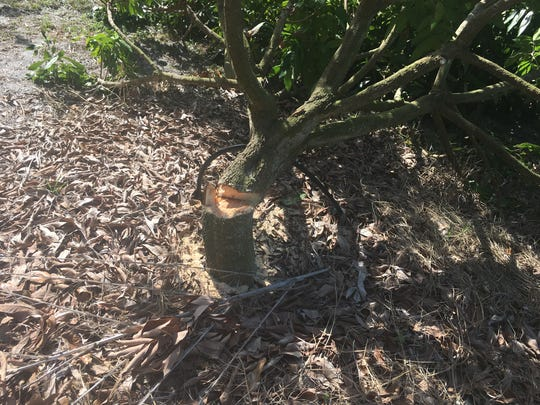 Three trees were cut down in a Merritt Island orchard. The owner is offering a big reward to find out who did it.