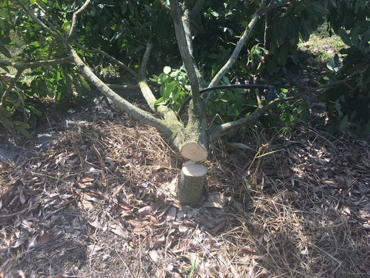 Three trees were cut down in a Merritt Island orchard.