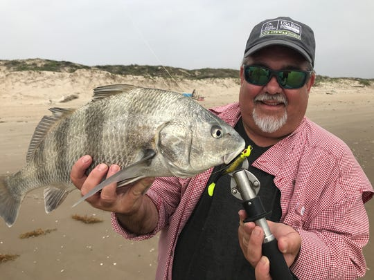 This black drum snatched a Bass Assassin paddletail from the first gut.