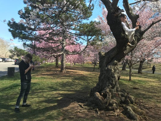 Patrick Carew, 21, left, takes the photo of Matthew Morocco, 28, both of Brooklyn, N.Y., sitting atop a cherry tree in Branch Brook Park in Belleville and Newark on Friday, April 20, 2018.