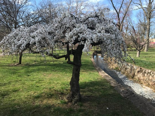 A cherry blossom tree is in bloom in Verona Park in Verona on Saturday, April 21, 2018. It is a part of the Essex County Parks system.