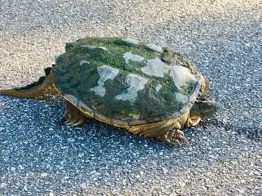 A snapping turtle crossing a road is really not all that uncommon, a wildlife expert said. The behavior likely involves an attempt to ensure their eggs have a dry, warm, underground nest in which to incubate.