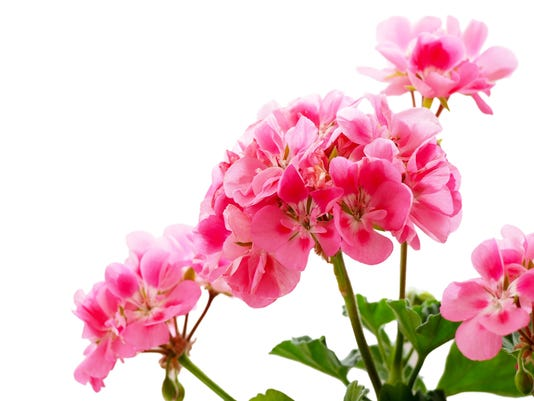 Pink geranium (pelargonium) flower isolated on white