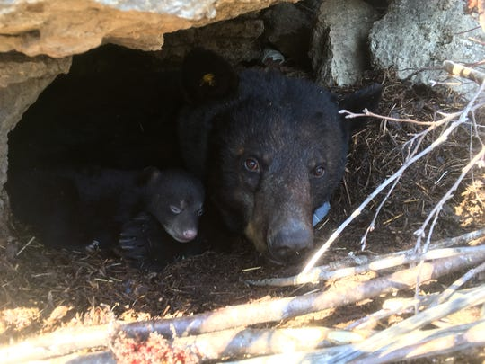 A mother bear and her cub rest in the entrance of their