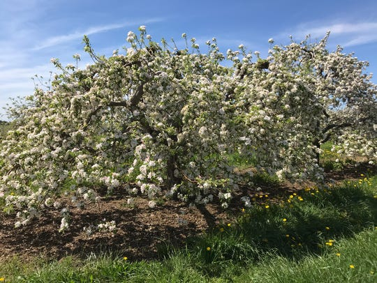 An apple tree in bloom at Lagoner Farms in Williamson,
