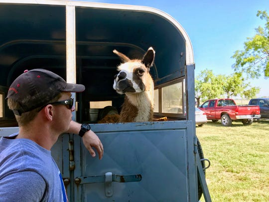 A lost llama listed for $50 at the City of San Angelo Animal Shelter was adopted by Alex Wilson, Tuesday, May 29, 2018