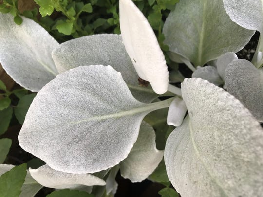 """Angel Wings"" senicio has velvety, silver-white foliage. The annual was new this year at Mayflower Greenhouse in Hobart."