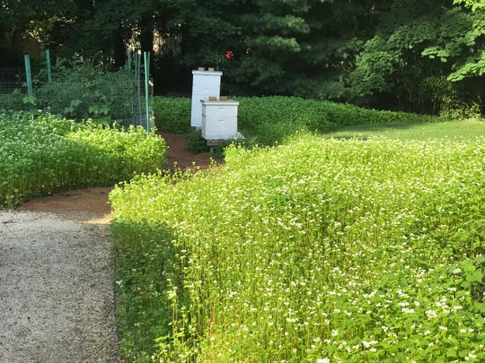Buckwheat surrounding a pine needle path to a suburban garden and bee hive.