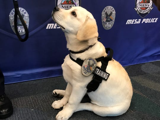 Macy, the Mesa Police Department's first therapy dog
