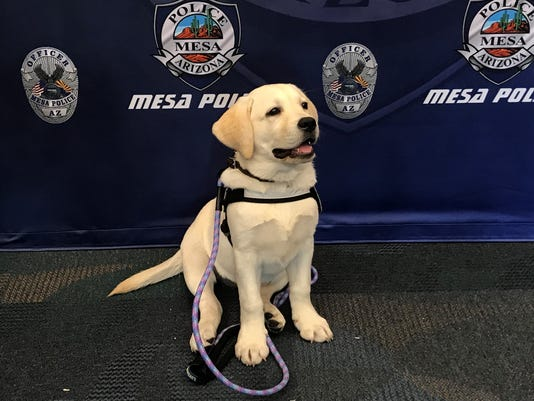 Mesa Police introduce first therapy dog