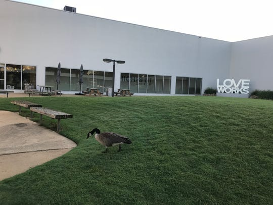 A Canadian goose wanders the campus of Highpoint Church,