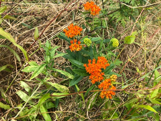 Butterfly weed is a native species that attracts butterflies and other pollinators.