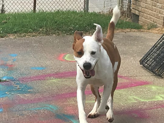 Rowdy likes to play and run. He's available for adoption