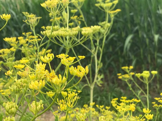Wild parsnip grows next to a corn field.