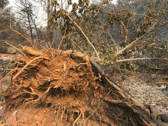 Fierce winds from the Carr Fire uprooted a large tree