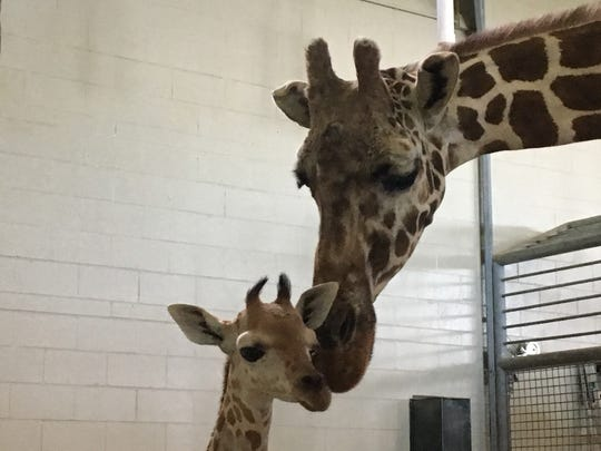 Penny the giraffe was just shy of her 2-month birthday when she was euthanized due to health issues.