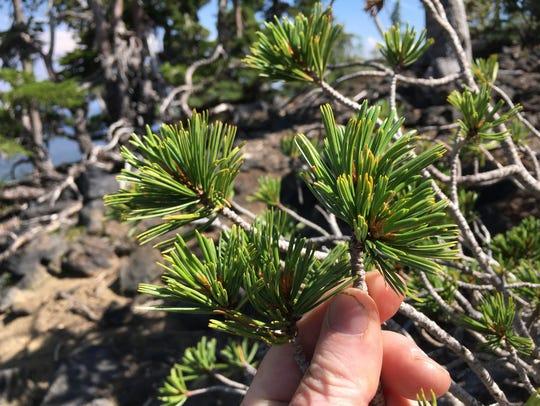 Mt. Bachelor's whitebark pines.