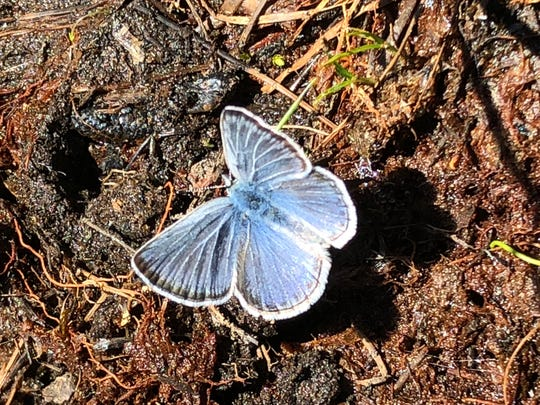 Blue Copper butterfly.