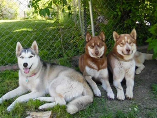 These three Siberian huskies, from left: Gracie, Kona
