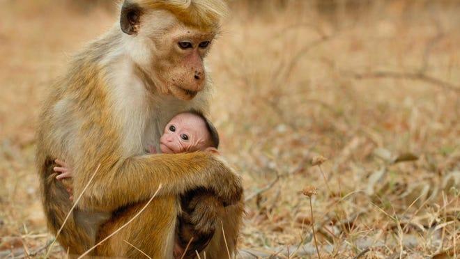 """The Disney documentary """"Monkey Kingdom,"""" opens April 17."""