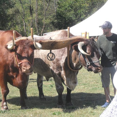 The working oxen took a break from their labor during