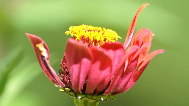 A wind battered zinnia bloom shows its age on the last day of summer as autumn arrived at 9:30 am on Tuesday.