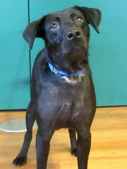 Little Bit is a 5 year old Lab mix from Alabama. She