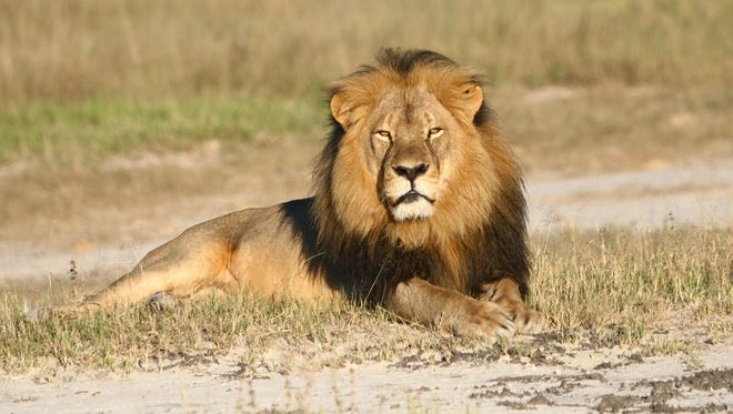 In this undated photo provided by the Wildlife Conservation Research Unit, Cecil the lion rests in Hwange National Park in Hwange, Zimbabwe.