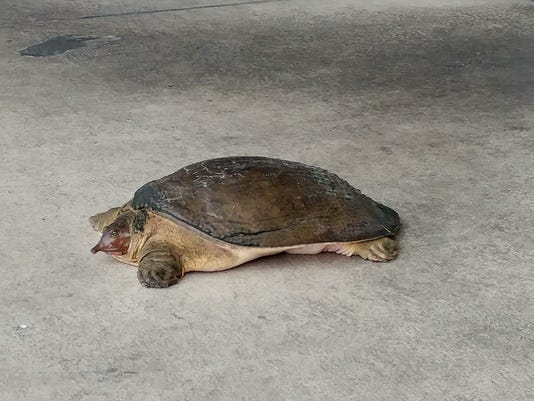 A softshell turtle that was found in front of an Anthony's Coal Fired Pizza in Stuart on Thursday.