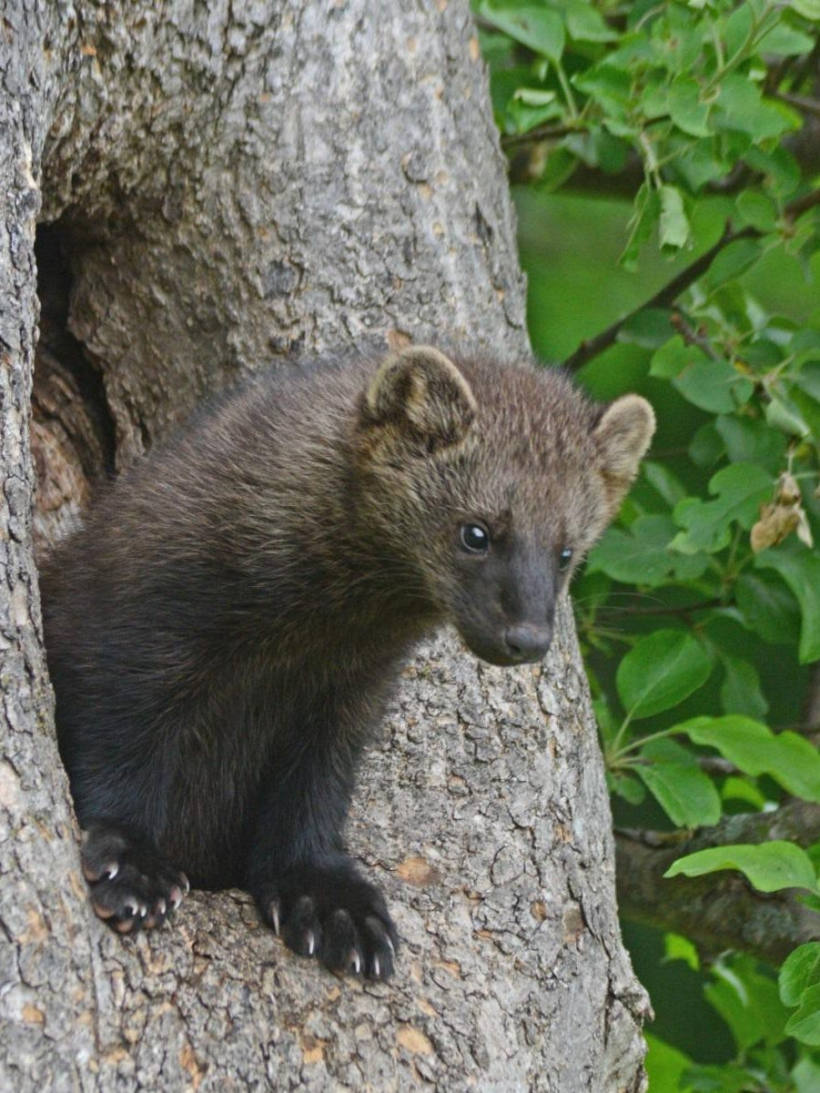 Spot A Fisher In Your Neighborhood Here S What You Should Know About The Carnivorous Critter