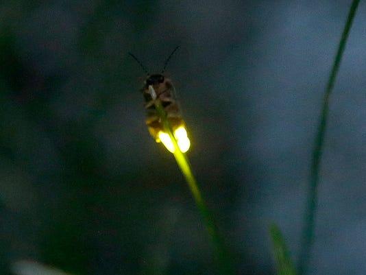636352936927006451-firefly11p7.jpg