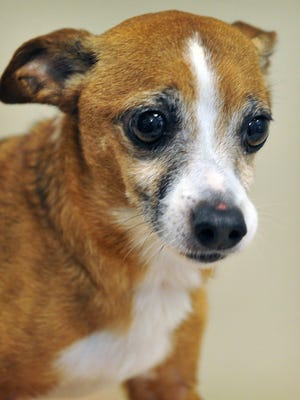 Ricky is a 6-year-old, brown and white, Chihuahua mix. He is a little shy at first but sweet and cuddly.Ricky is available for adoption at the Wichita Falls Animal Services Center.